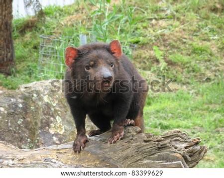 Tasmanian Devil Sarcophilus harrisii