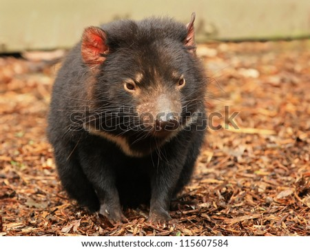 Tasmanian Devil (Sarcophilus harrisii), a native Australian animal.