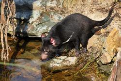 Tasmanian devil, Sarcophilus harrisii, at forest brook. Australian masupial drinks water from lake in bush. Endangered carnivorous animal with black fur and red ears. Habitat Tasmania, Australia.
