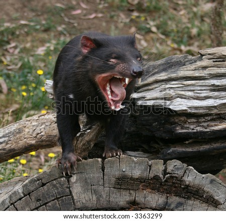 Tasmanian Devil (Sarcophilus harrisii) Growling