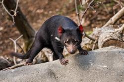 Tasmanian devil, Sarcophilus harrisii, in bush. Australian masupial climbing on stone in sunny day. Endangered carnivorous animal with black shiny fur and red ears. Habitat Tasmania, Australia.