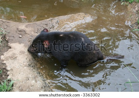Tasmanian Devil (Sarcophilus harrisii) in Water