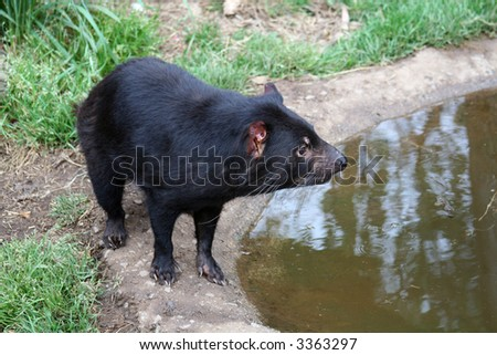 Tasmanian Devil (Sarcophilus harrisii) Near Water
