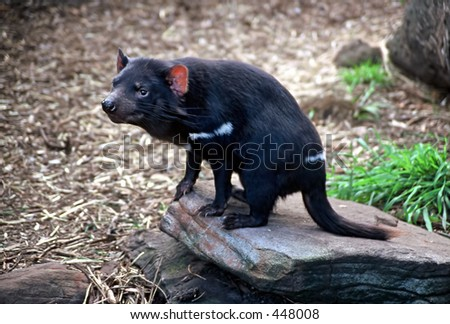 Tasmanian Devil (Sarcophilus harrisii), sitting on a rock