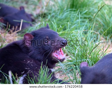 Tasmanian devil showing an aggressive pose with teeth