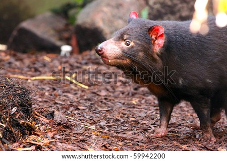 Tasmanian Devil smelling for scents - Sarcophilus harrisii