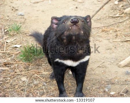 tasmanian devil sniffing the air