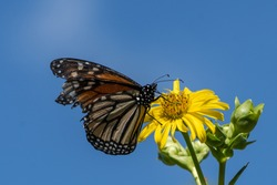 Tattered monarch butterfly (Danaus plexippus) on bright yellow flower against blue sky background.