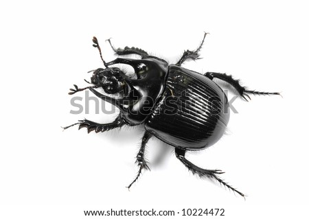 Taurus beetle isolated on white background