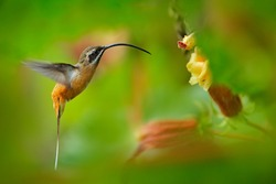 Tawny-bellied Hermit, Phaethornis syrmatophorus, flying next to yellow flower in nature habitat. Humming bird in the green tropic forest. Exotic jungle bird sucking sweet nectar from bloom, Ecuador.