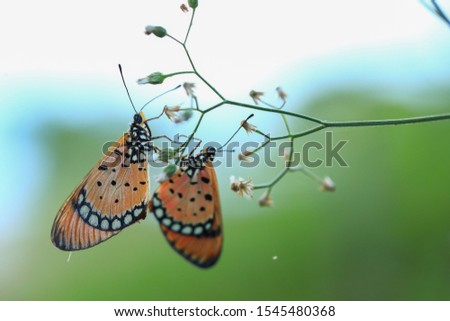Tawny Coster (Acraea violae) ,Acraea terpsicore, the tawny coster, is a small, 53–64 millimetres leathery-winged butterfly common in grassland and scrub habitats. Thailand