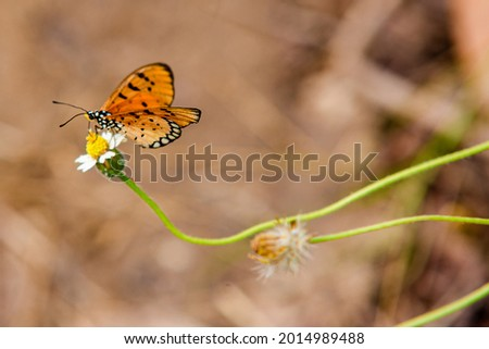 Tawny Coster butterfly (Arthropoda: Lepidoptera: Nymphalidae: Acraea violae) An orange winged butterfly sits on weed In the forest Stock photo ©