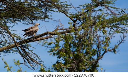 Tawny Eagle (Aquila Rapax) in Masai Mara National Park, Kenya