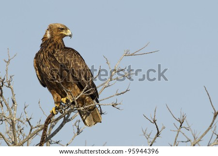 Tawny Eagle, (Aquila rapax) in South Africa's Kruger Park