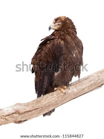 Tawny eagle (Aquila rapax).  Isolated over white background