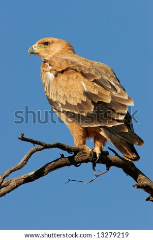 Tawny eagle (Aquila rapax) perched on a branch, Kalahari desert, South Africa