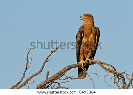 Tawny eagle (Aquila rapax) perched on a branch, Kalahari, South Africa