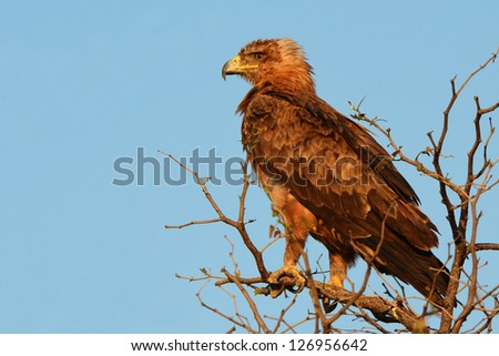 Tawny Eagle (Aquila rapax) perched on top of a thorn tree close to the Ombika waterhole, Etosha National Park, Namibia.