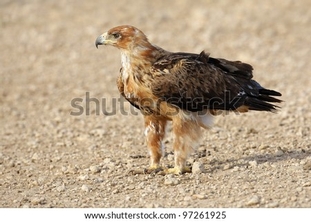 Tawny eagle (Aquila rapax) sitting on the ground, Kalahari desert, South Africa