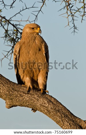 Tawny Eagle at a tree branch in africa