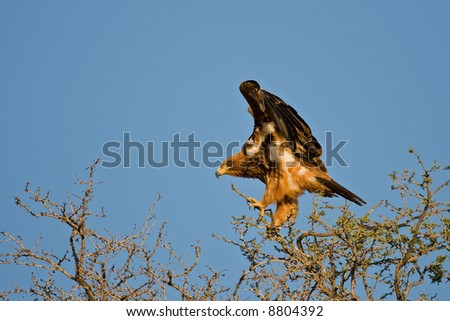 Tawny eagle landing on a thorn tree; Aquila rapax; South Africa