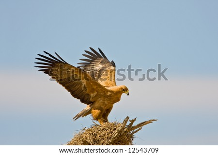 Tawny eagle landing on top of a sociable weavers nest ; Aquila rapax; South Africa - stock photo