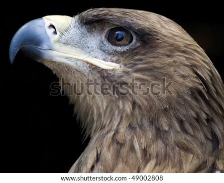 tawny eagle portrait