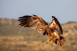 Tawny Eagle preparing to Land