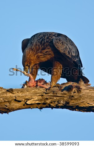 Tawny Eagle with catch in tree in greater kruger park