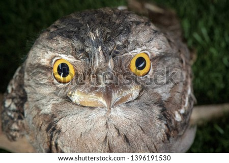 Tawny Frog mouth, Australia, Feathers, Beaks, Birds, Wooded Areas, Nocturnal, Grey, Bird, Feather, Predator, Closeups, Head shots,