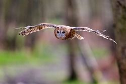 Tawny owl flying through the trees