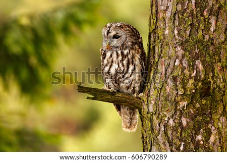 Stock Photo Tawny owl hidden in the forest. Brown owl sitting on tree stump in the dark forest habitat. Beautiful animal in nature. Wildlife scene from dark spruce forest.