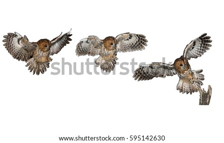 Tawny owl in flight (Strix aluco)