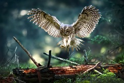 Tawny owl in flight (strix aluco), Action flying scene from the deep dark forest with common owls. Spread beautiful wings fly over old stump.