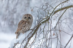 tawny owl in snow, winter scene with owl, attractive owl portrait in snow fall