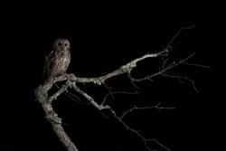 Tawny owl in the dark night