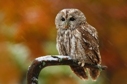 Tawny owl in the forest, sitting on tree stump in the dark forest habitat. Beautiful animal with orange background.