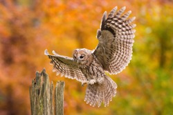 Tawny owl landing in autumnal forest