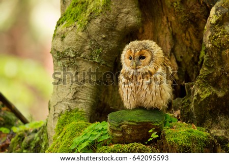 Stock Photo Tawny owl or brown owl (Strix aluco) is a stocky, medium-sized owl commonly found in woodlands across much of Europe and Asia. Several of the eleven recognised subspecies have both variants.