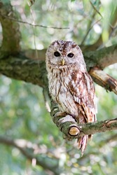 tawny owl sitting on willow branch