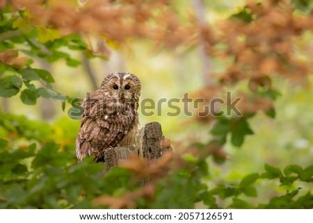 Tawny owl, strix aluco, aves Foto stock ©