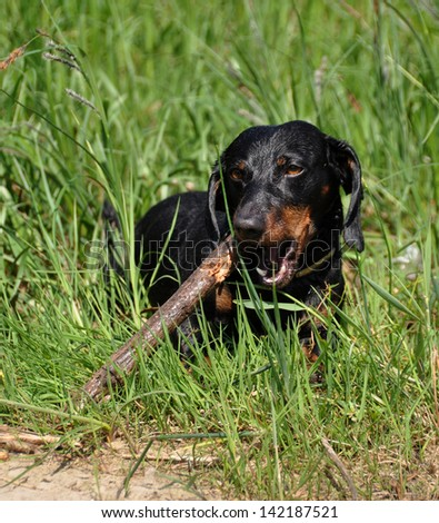 Taxi stands on a green background on the grass. Dachshund chewing on a stick. Sharpening his teeth. Color fees - tan.