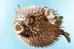 Taxidermal inflated puffer fish over blue background