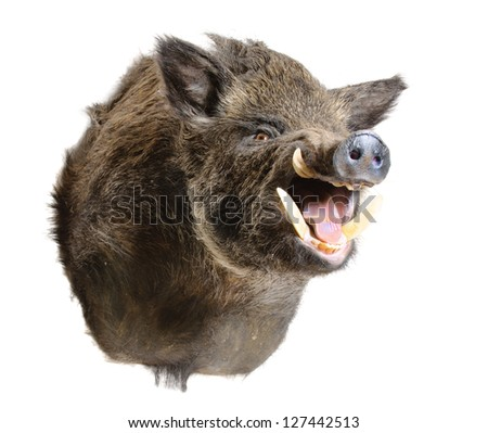 Taxidermy mount of a Sus Scrofa, (Wild Boar) isolated on white