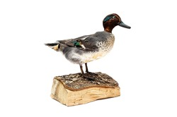 taxidermy of a green winged teal duck