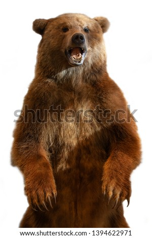 Taxidermy of a Kamchatka brown bear on white background #1394622971