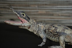 Taxidermy of young crocodile with blurred background