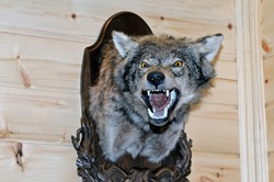 Taxidermy stuffed wolf's muzzle with bared mouth and teeth is hanging on a wooden stand on a wooden wall