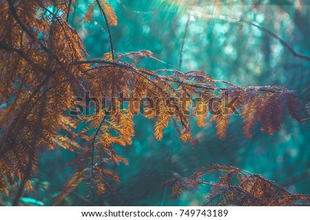 Taxodium distichum (bald cypress, cypress, southern-cypress, white-cypress, tidewater red-cypress, gulf-cypress, red-cypress or swamp cypress) branch in a soft natural light