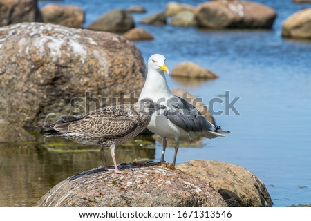 Taxonomy of birds. The Scandinavian Herring Gull (Larus argentatus omissus) subspecies with gray leggs with chick (fledgling) in juvenile plumage beg for food. East Finnish gulf, Baltic